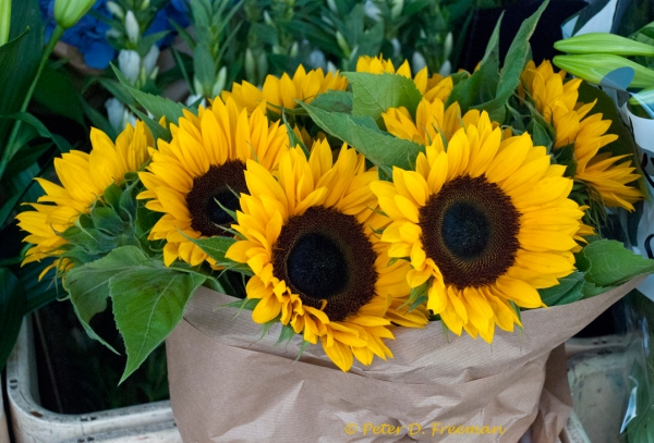 Portobello Sunflowers