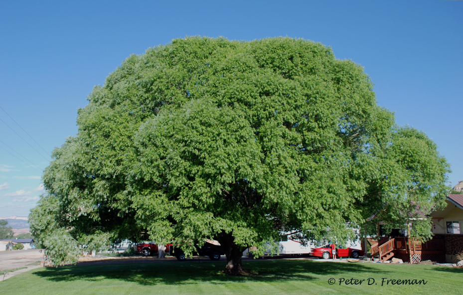 Shade tree the elemental eye peter freeman for Best small shade trees