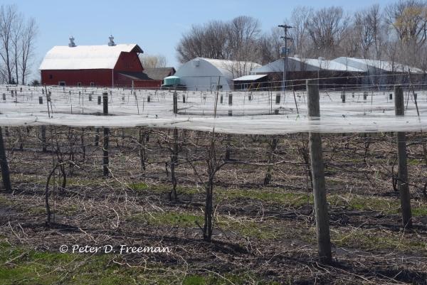 Minnesota Vineyard