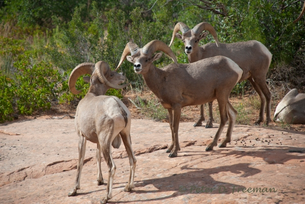 Rams Being Rams